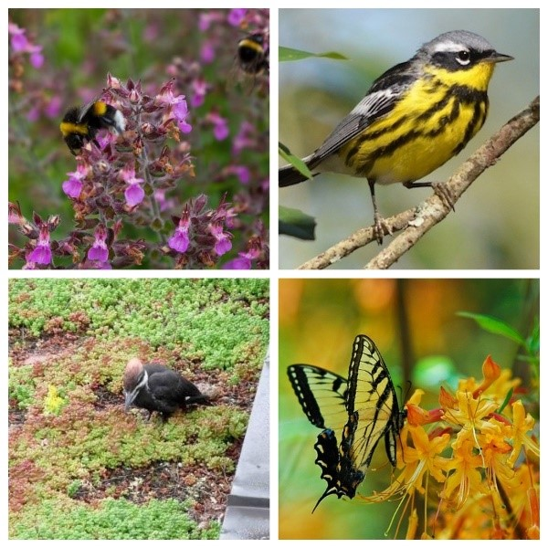 An image to show the various wildlife that can be found on a green roof. Top left is a bee pollenating on a purple flower. Top right is a black and yellow bird. Bottom left is a nesting bird. The bottom right is a black and yellow butterfly.